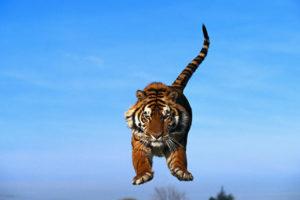 Прыгающий тигр