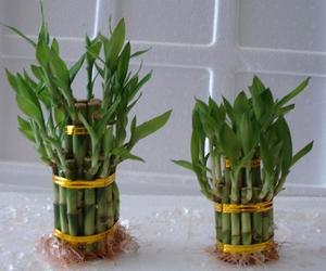 denezhnyj-bambuk