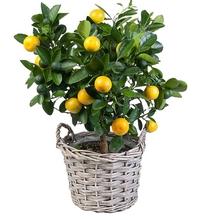 derevo-limona-po-fen-shuj