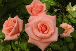 Розы и мантры